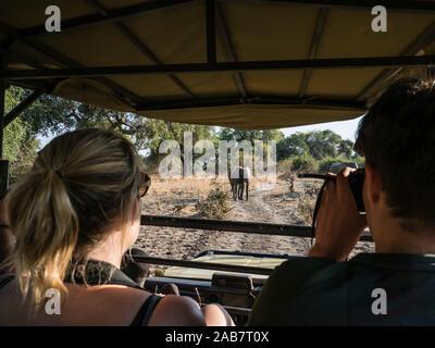 An African bush elephant (Loxodonta africana), near a safari truck in South Luangwa National Park, Zambia, Africa