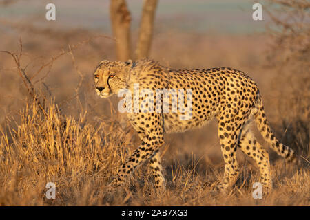 Cheetah (Acinonyx jubatus), Zimanga private game reserve, KwaZulu-Natal, South Africa, Africa - Stock Photo
