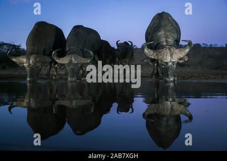 Cape buffalo (Syncerus caffer) drinking at dusk, Zimanga private game reserve, KwaZulu-Natal, South Africa, Africa - Stock Photo