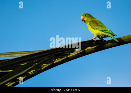 Orange chinned Parakeet (Brotogeris Jugularis), Boca Tapada, Alajuela Province, Costa Rica, Central America - Stock Photo