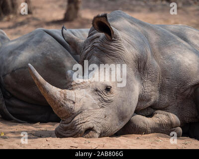 An adult southern white rhinoceros (Ceratotherium simum simum), guarded in Mosi-oa-Tunya National Park, Zambia, Africa - Stock Photo
