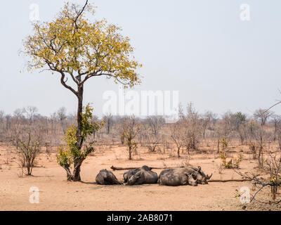Adult southern white rhinoceros (Ceratotherium simum simum), guarded in Mosi-oa-Tunya National Park, Zambia, Africa - Stock Photo
