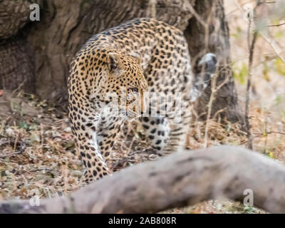 An adult female leopard (Panthera pardus), South Luangwa National Park, Zambia, Africa - Stock Photo