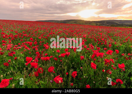 Red poppies, backlit field at sunrise, beautiful wild flowers, Peak District National Park, Baslow, Derbyshire, England, United Kingdom, Europe Stock Photo