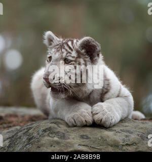 Royal Bengal Tiger / Koenigstiger ( Panthera tigris ), young cub, white leucistic morph, lying on rocks, resting, watching around, looks cute and funn