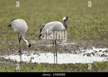 Common Cranes / Graukraniche ( Grus grus ), couple, pair, resting on farmland, drinking water, searching for food, during autumn migration, wildlife, - Stock Photo