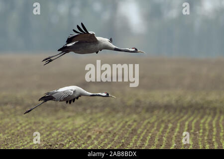 Common Cranes / Graukraniche ( Grus grus ), pair, couple in flight, flying in, landing on farmland, migratory birds, wildlife, Europe. - Stock Photo