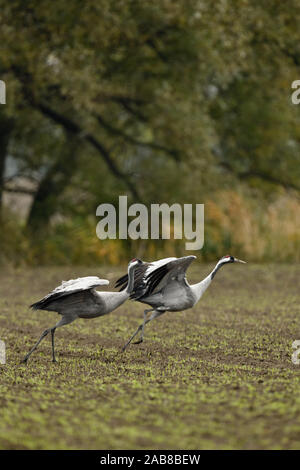 Common Cranes / Graukraniche ( Grus grus ), pair, couple, taking off from farmland, leaving, flying away, migratory birds, wildlife, Europe. - Stock Photo