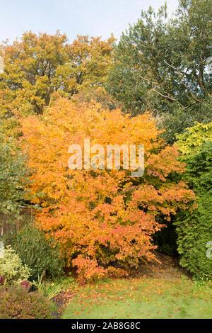autumn coloured leaves of Acer palmatum Japanese maple tree, Sussex, UK, November - Stock Photo