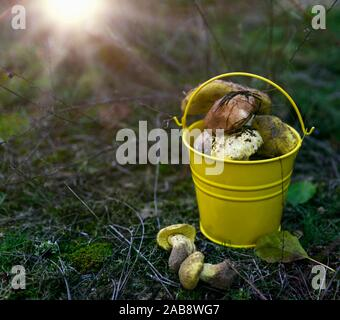 fresh wild mushrooms in a yellow bucket on the meadow, sunny. - Stock Photo