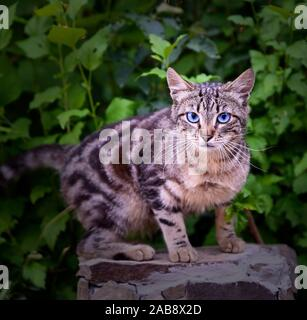 street tabby cat on a background of green bushes looks into the camera, summer day. - Stock Photo