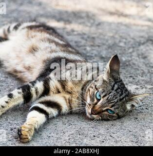 gray striped street cat with blue eyes lies on the asphalt, summer day. - Stock Photo
