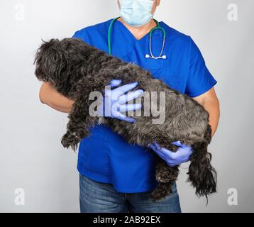 doctor in blue uniform and sterile latex gloves holding a fluffy black dog on a white background, animal treatment concept. - Stock Photo