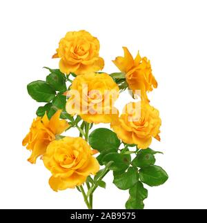 beautiful bouquet of blooming yellow roses on green stems with leaves Isolated on a white background. - Stock Photo
