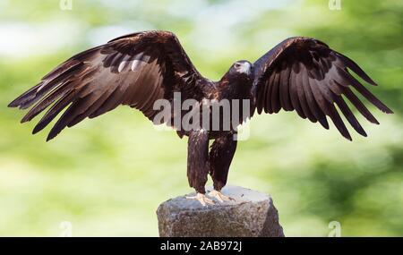 Majestic wedge-tailed eagle (Aquila audax). The largest Australian eagle. - Stock Photo