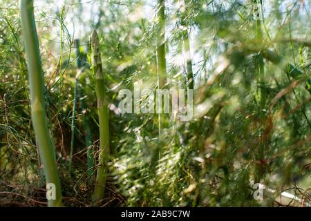 Asparagus plants in the nature. Close-up asparagus. Asparagus in industrial farm. - Stock Photo