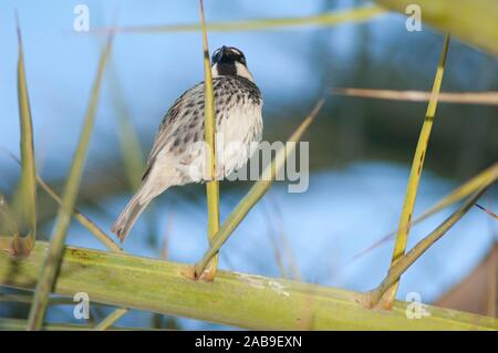 Spanish sparrow (Passer hispaniolensis). Male. Tuineje. Fuerteventura. Canary Islands. Spain. - Stock Photo