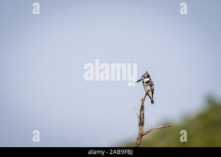 Pied kingfisher sitting on a branch in the Pilanesberg National Park, South Africa. - Stock Photo