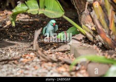 Rose-ringed parakeet and ring-necked parakeet on the floor in the forest. - Stock Photo