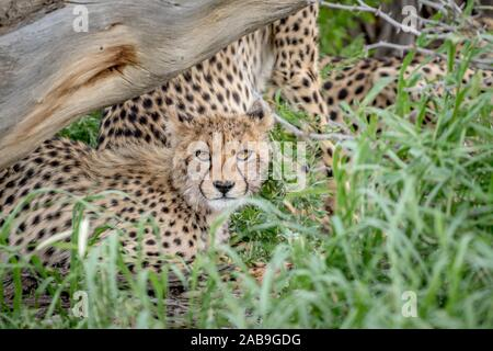 Cheetah starring at the camera from in between the grass in the Kalagadi Transfrontier Park, South Africa. - Stock Photo