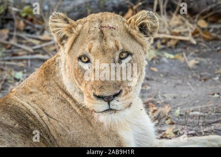 Starring Lioness in the Kruger National Park, South Africa. - Stock Photo