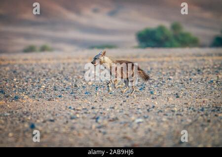 Brown hyena running in the desert in Namibia. - Stock Photo