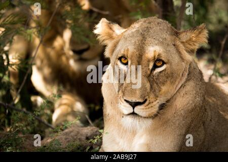 Lioness looking at the camera in the Kruger National Park, South Africa. - Stock Photo