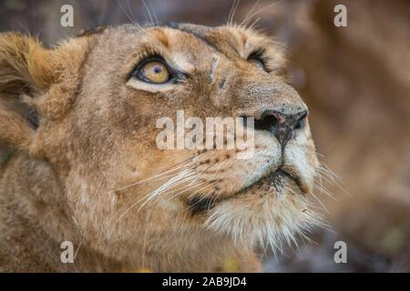 Lioness looking up in the Kruger National Park, South Africa. - Stock Photo