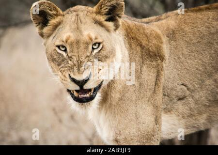 Grumpy Lioness in the Kruger National Park, South Africa. - Stock Photo