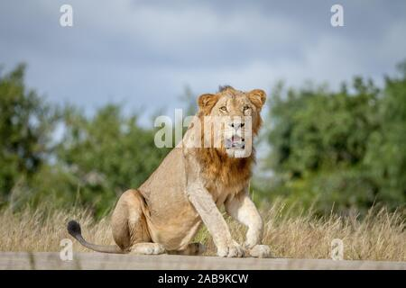 Male Lion sitting on the road in the Kruger National Park, South Africa.