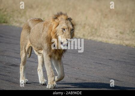 Male Lion walking on the road in the Kruger National Park, South Africa. - Stock Photo