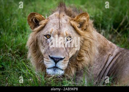 Close up of a male Lion in the Okavango Delta, Botswana. - Stock Photo