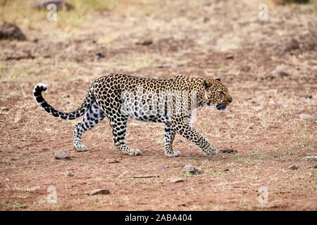Leopard female walking (Panthera pardus) Masai Mara National Reserve, Kenya. - Stock Photo