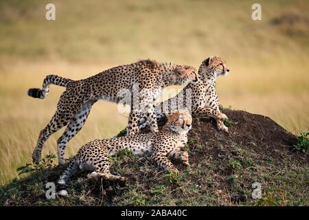 Cheetahs, mother and juvenile cubs (Acinonyx jubatus) lying and sitting on termite mound. Masai Mara National Reserve, Kenya. Stock Photo