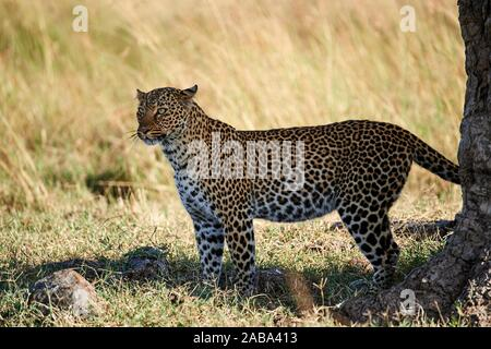 Leopard male (Panthera pardus) Masai Mara National Reserve, Kenya. - Stock Photo