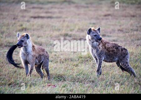 Two Spotted hyaena (Crocuta crocuta) in savanna and one with a wildebeest tail in its mouth. Masai Mara National Reserve, Kenya. - Stock Photo