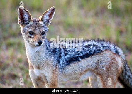 Black-backed jackal (Canis mesomelas) portrait. Masai Mara National Reserve, Kenya. - Stock Photo