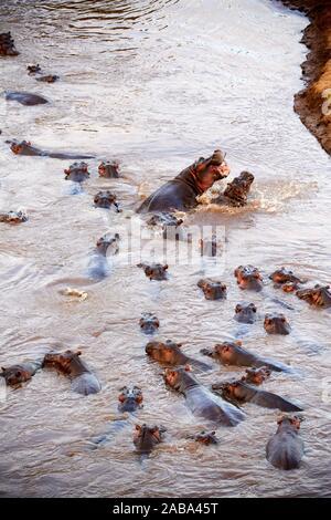 Aerial view of Hippopotamus group in Mara river (Hippopotamus amphibius). Masai Mara National Reserve, Kenya. - Stock Photo