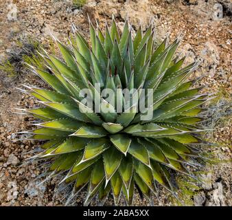 An agave plant flourishes in the desert landscape in Northen Arizona. - Stock Photo