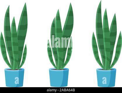 Sansevieria plant in the pot. Green houseplant. - Stock Photo