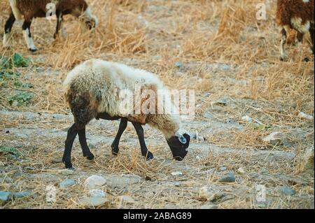 Domestic sheep (Ovis aries) on a barren meadow, Crete, Greece, Europe - Stock Photo