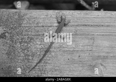 Sand lizard (Lacerta agilis) on a wooden board at the Camino del Norte, coastal path, Way of St. James, Camino de Santiago trail, Basque country,