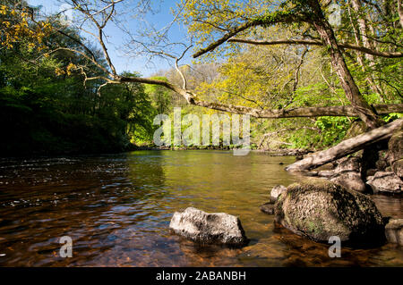 A view of the river Ure flowing through Hackfall Woods on the eastern edge of the Nidderdale Area of Outstanding Natural Beauty in North Yorkshire. Ma - Stock Photo