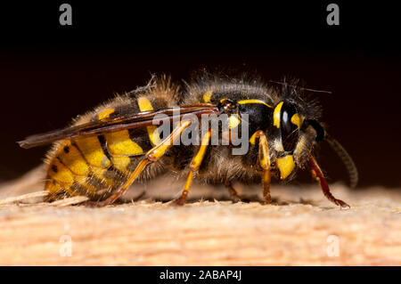 Common wasp (Vespula vulgaris), adult, collecting wood pulp from a rafter in athe loft of a house in Thirsk, North Yorkshire. May. - Stock Photo