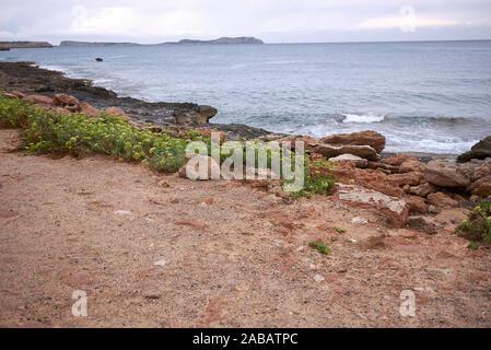 Crithmum maritimum plants on the coast - Stock Photo
