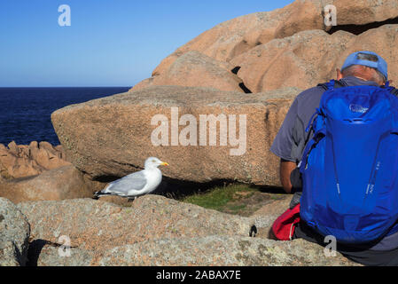 European herring gull (Larus argentatus) waiting for food from tourist sitting on rock along the coast, Côtes-d'Armor, Brittany, France - Stock Photo
