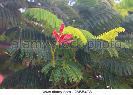 Red royal poinciana blossom (Delonix regia) against green fern-like leaves - Stock Photo