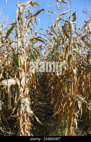 Maisfeld mit Maiskolben kurz vor der und während der Ernte - Stock Photo