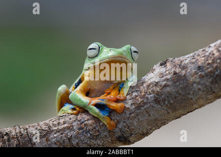 Wallace Flying Frog on a branch, Kalimantan, Borneo, Indonesia - Stock Photo