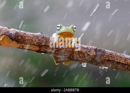 Wallace Flying Frog on a branch in the rain, Kalimantan, Borneo, Indonesia - Stock Photo